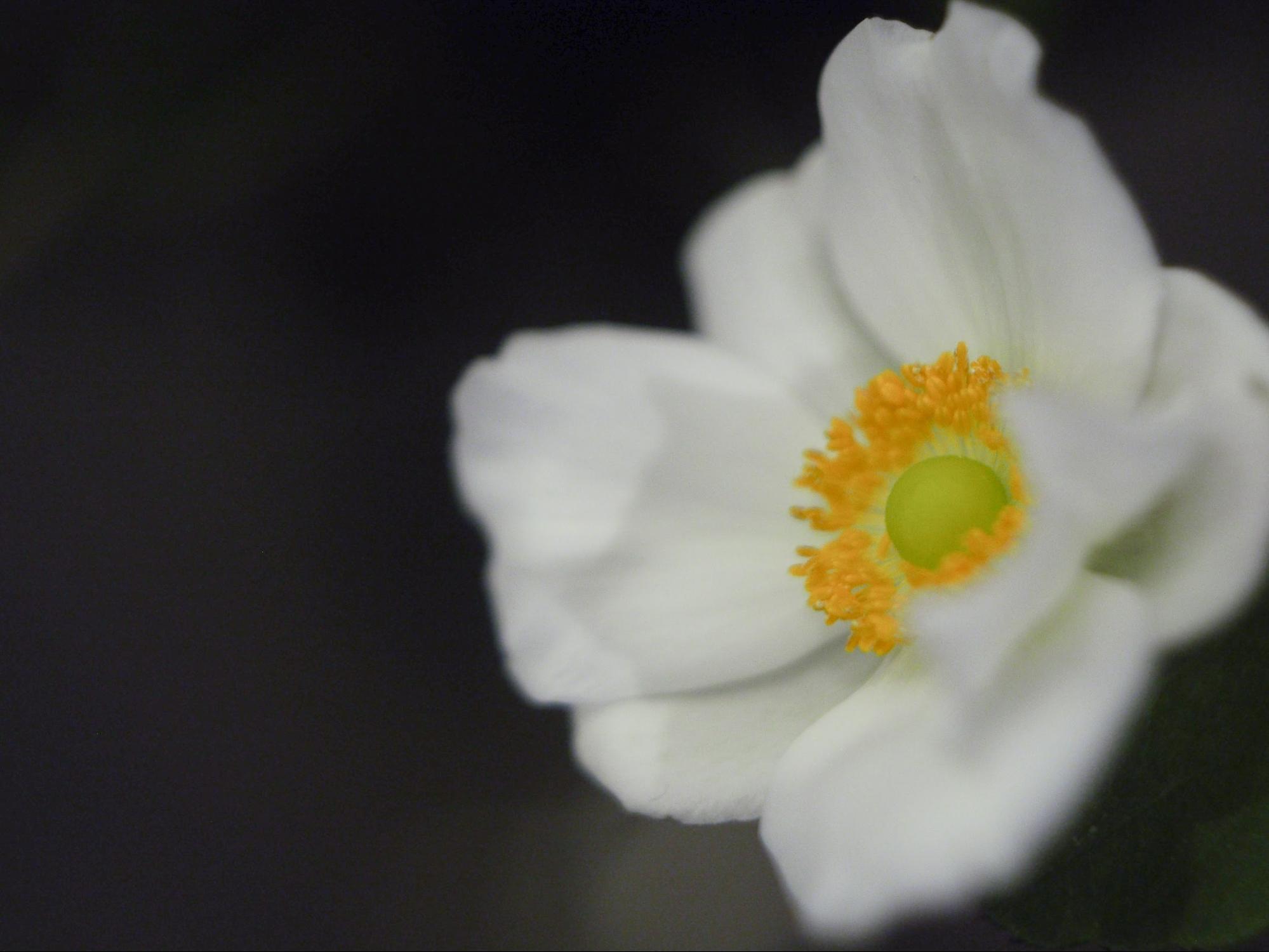 mimi・9月の切り花〜秋明菊【花と暮らす】